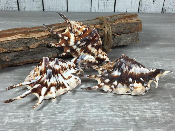 3er - Set Lambis Lambis dunkel 12-13cm A-Qualität echte Muschel Meeresschnecke