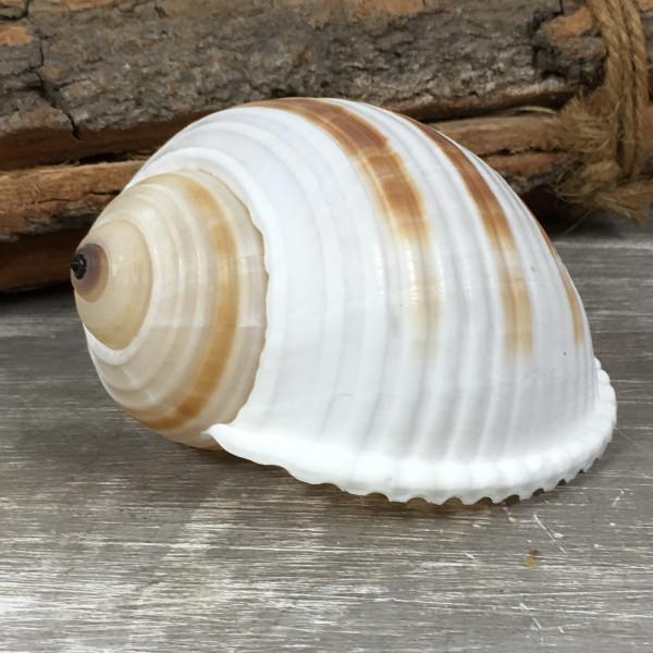 Tonna Sulcosa ca. 8 cm A-Qualität echte Muschel Meeresschnecke