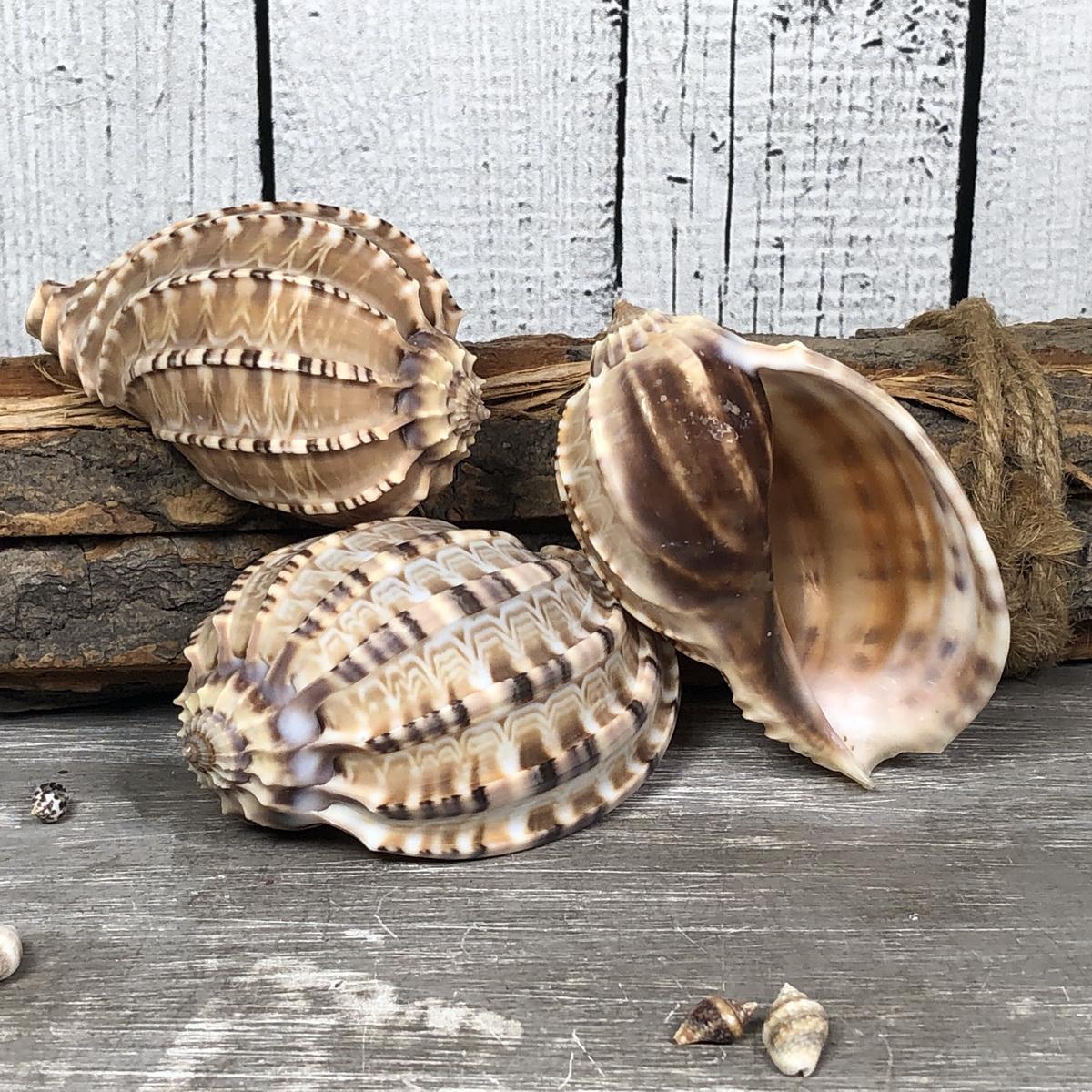 Harpa articularis 7cm A-Qualität echte Muschel Meeresschnecke