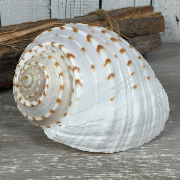 Tonna Tessellata ca. 10 cm tesselata A-Qualität echte Muschel Meeresschnecke