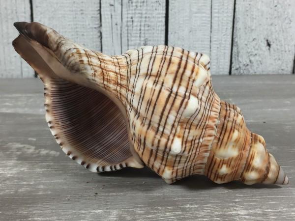 Fasciolaria Trapezium gross 15-17cm A-Qualität echte Muschel Meeresschnecke