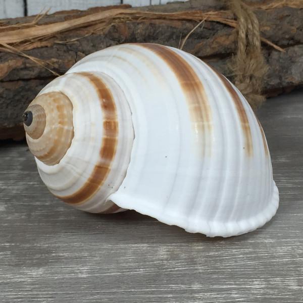 Tonna Sulcosa ca. 10 cm A-Qualität echte Muschel Meeresschnecke