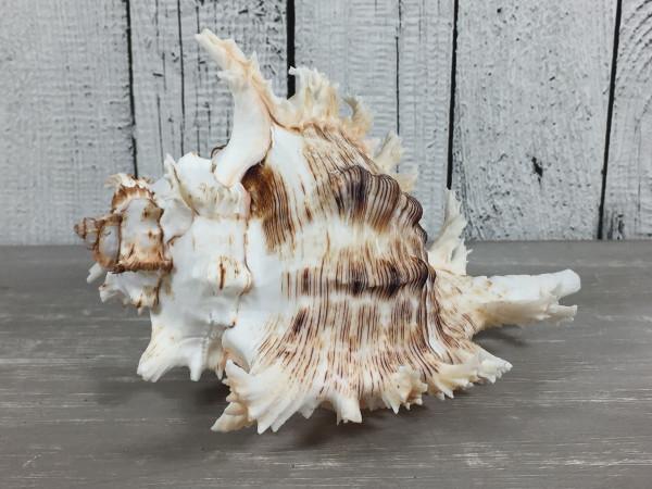 Murex Ramosus 13-15cm A-Qualität echte Muschel Meeresschnecke