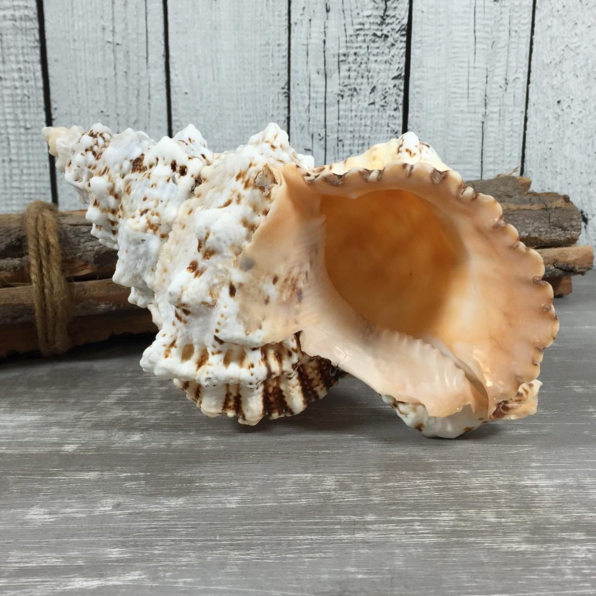 Pro Natürliche Groß Riesenmuschel Trompete echte Muschel Meeresschnecke